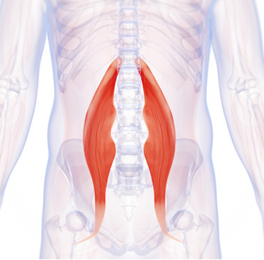 Hip Flexors Muscle